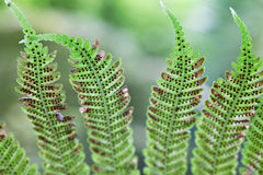Fern detail Royalty Free Stock Photography