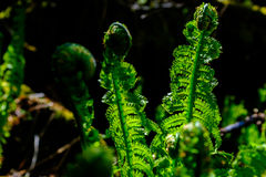Fern Detail Foto de Stock Royalty Free