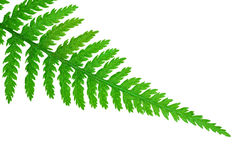 Fern detail isolated Stock Photo