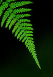 Fern detail Royalty Free Stock Image