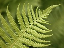 Fern details Royalty Free Stock Image