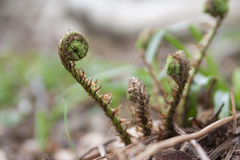 Fern details. Close up of sprouting fern plant Stock Image