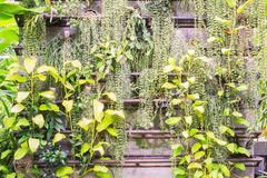 Fern and devil's ivy on wall in garden. Fern and devil's ivy on wall in botanic garden, Thailand Royalty Free Stock Images