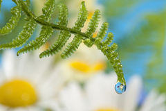 Fern with dew drop Stock Photo