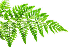 Fern with dew drop on white background Royalty Free Stock Photos