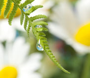 Fern with dew drops Royalty Free Stock Image