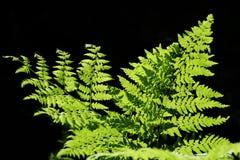 Fern do verde de floresta Imagens de Stock Royalty Free