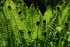 Fern (Dryopteris filix-mas). Young green fern in sunshine royalty free stock photo