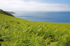 Fern (Dryopteris filix-mas) on the coast Royalty Free Stock Photography