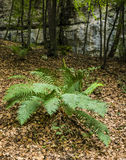 Fern (Dryopteris filix-mas) in the forest. Royalty Free Stock Photography