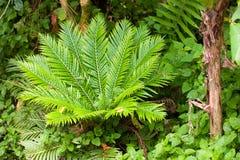 Fern em um jardim tropical Foto de Stock Royalty Free