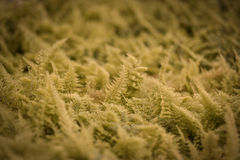 Fern in farm Royalty Free Stock Images