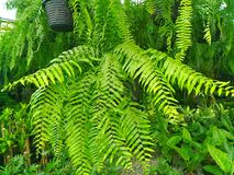 Fern. Afernis a member of a group of vascular plants that reproduce via spores and have neither seeds nor flowers Stock Images