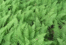 Bracken Stock Photos
