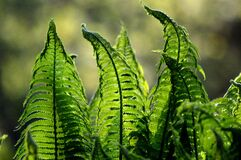 Fern, Ferns, Green, Nature, Foliage Royalty Free Stock Photography