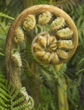 Fern Fiddle-Head Royalty Free Stock Photo