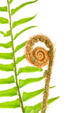 Fern fiddle head macro Royalty Free Stock Photography