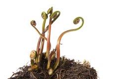 Fern Fiddleheads in primavera Fotografia Stock Libera da Diritti