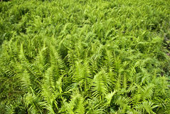 Fern field Royalty Free Stock Images