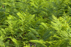 Fern field Stock Images