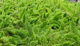 Fern field Stock Photography