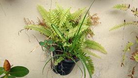Fern flower in a flowerpot on the wall Royalty Free Stock Images
