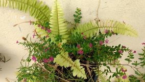 Fern flower with pink flower in a flowerpot Royalty Free Stock Photos