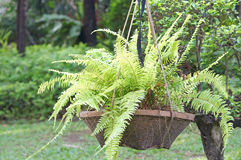 Fern in a flower pot Stock Photography