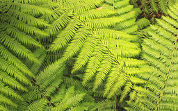 Fern foliage Stock Image