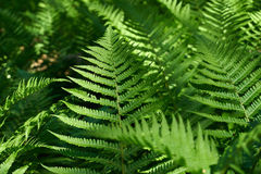 Fern. In forest Royalty Free Stock Photo