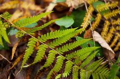 Fern  in the   forest Stock Photos