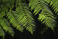 Fern in the forest Royalty Free Stock Photo
