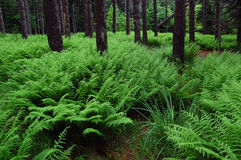 Fern Forest at Dolly Sods Wilderness. Ferns in the pine forest at Dolly Sods Wilderness in the Monongahela National Forest, West Virginia Royalty Free Stock Image