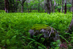 Fern Forest e roccia muscosa Fotografia Stock Libera da Diritti