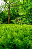 Fern forest Royalty Free Stock Photos