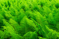 Fern forest Royalty Free Stock Photography