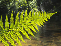 Fern in the forest Royalty Free Stock Image