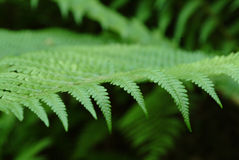 Fern in the forest. A green fern in a forest near the city Stock Photography