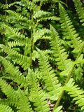 Fern, Forest, Ground, Green, Frisch Royalty Free Stock Images