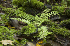 Fern in forest Royalty Free Stock Photography