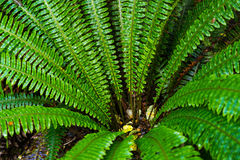 Fern forest at Kepler track Royalty Free Stock Images