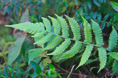Fern in forest Royalty Free Stock Images