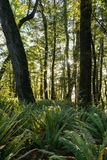 Fern forest in New Zealand Stock Images