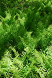 Fern in forest Royalty Free Stock Photos