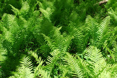 Fern in forest Royalty Free Stock Photo