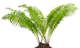 Fern forest real bush isolated Royalty Free Stock Photo