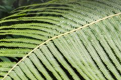Fern in the forest, Thailand. Royalty Free Stock Photography