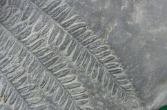 Fern fossils royalty free stock images