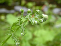 Fern. A foung fertile green fern Royalty Free Stock Photography
