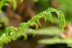 Fern frágil Foto de Stock Royalty Free